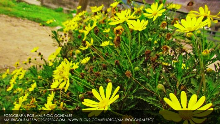 Hijuelas, la capital de las Flores